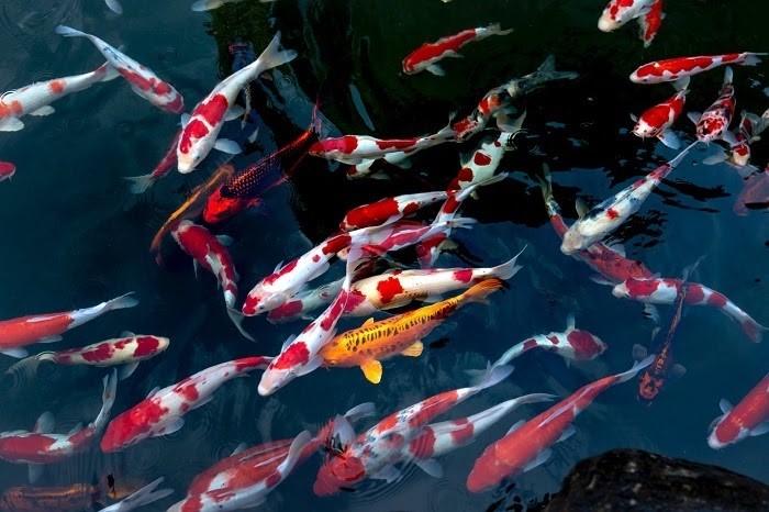 Chúng tôi cung cấp các loại cá Koi chất lượng