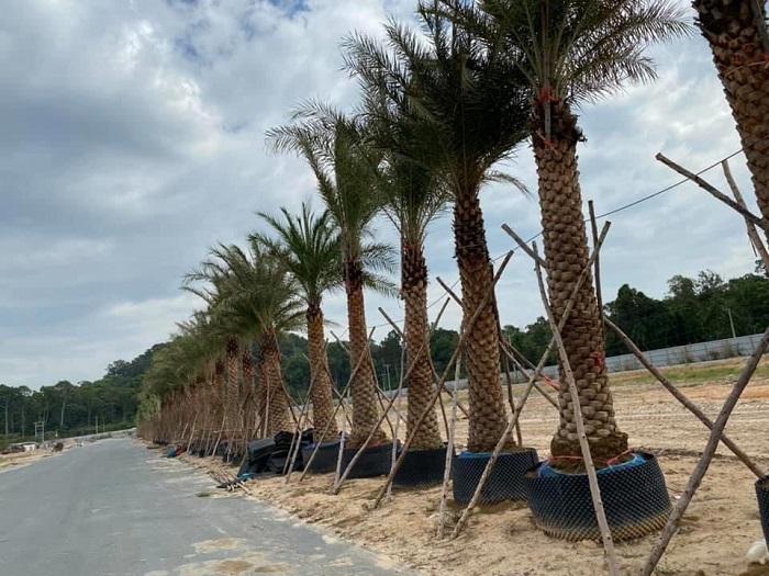Việt Hoa Viên- Cung cấp cây chà là cảnh giá tốt tại khu vực Tp.HCM